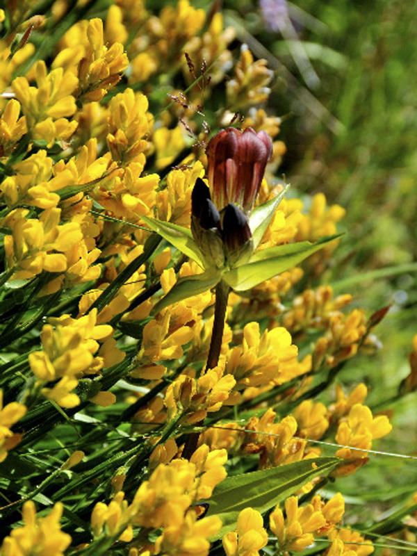 Fleur au Mont de Grange