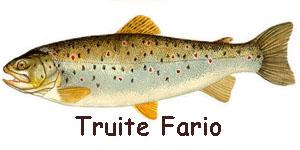Truite Fario