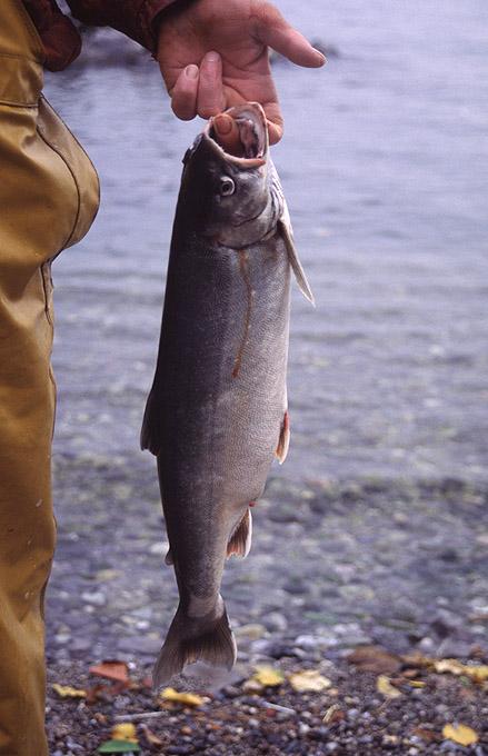Vues diverses pêche 23 omble chevalier